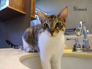 Meet Simon a handsome White Domestic Short Hair with Brown Tabby markings and