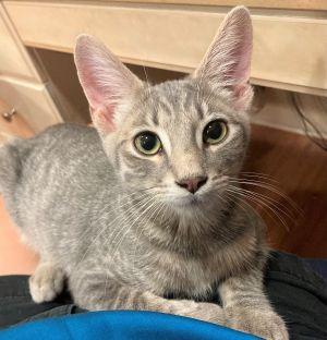 Skittles Tabby Cat