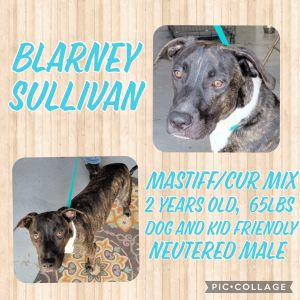 Meet Blarney a 2 year old 65-70lb MastiffCur mix Blarney loves other dogs and people hes an a
