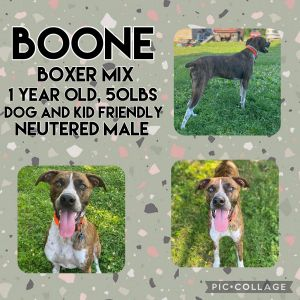 Meet Boone a 1 year old 50lb Boxer mix Boone is great with all people and dogs He is very