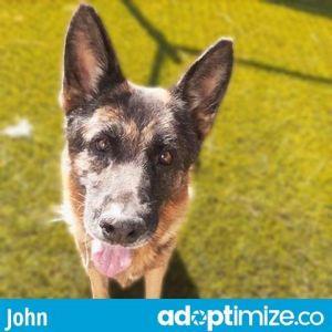 JOHN German Shepherd Dog Dog