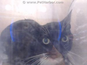 MAYO Domestic Short Hair Cat