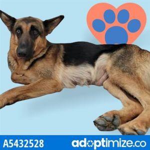 KIARA German Shepherd Dog Dog