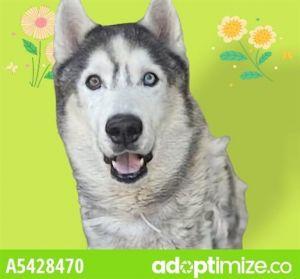 LOBO Siberian Husky Dog