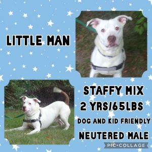 Meet Little Man a 2 year old 65lb male Staffy Mix He is fully vetted altered microchipped etc