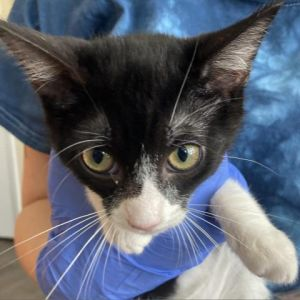 Darlas an adorable little kitten She has been spayed microchipped dewormed