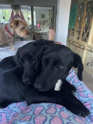 Gina and Millie Beagle Dog
