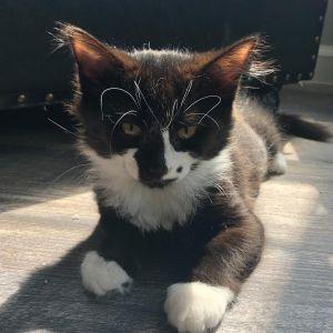 Juno (Groucho kittens)