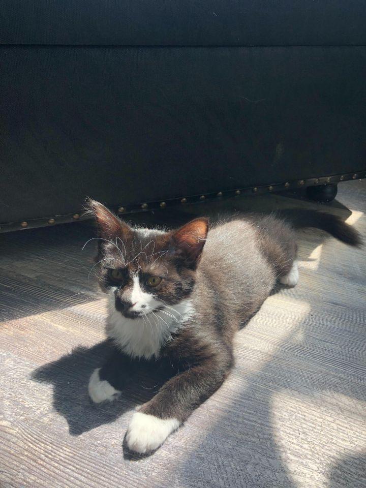 Juno (Groucho kittens) 3