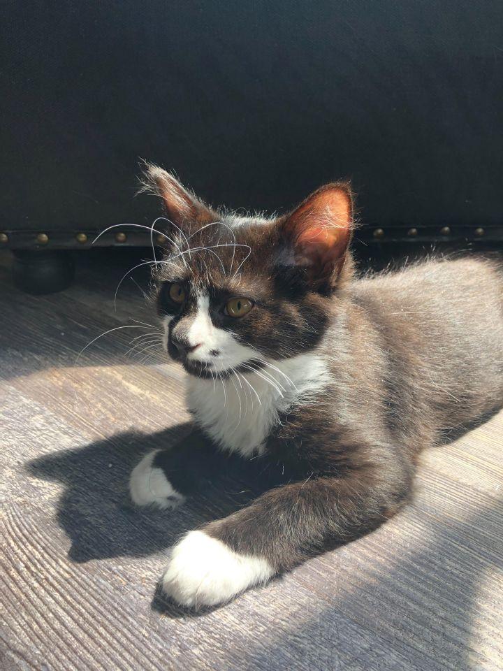 Juno (Groucho kittens) 4