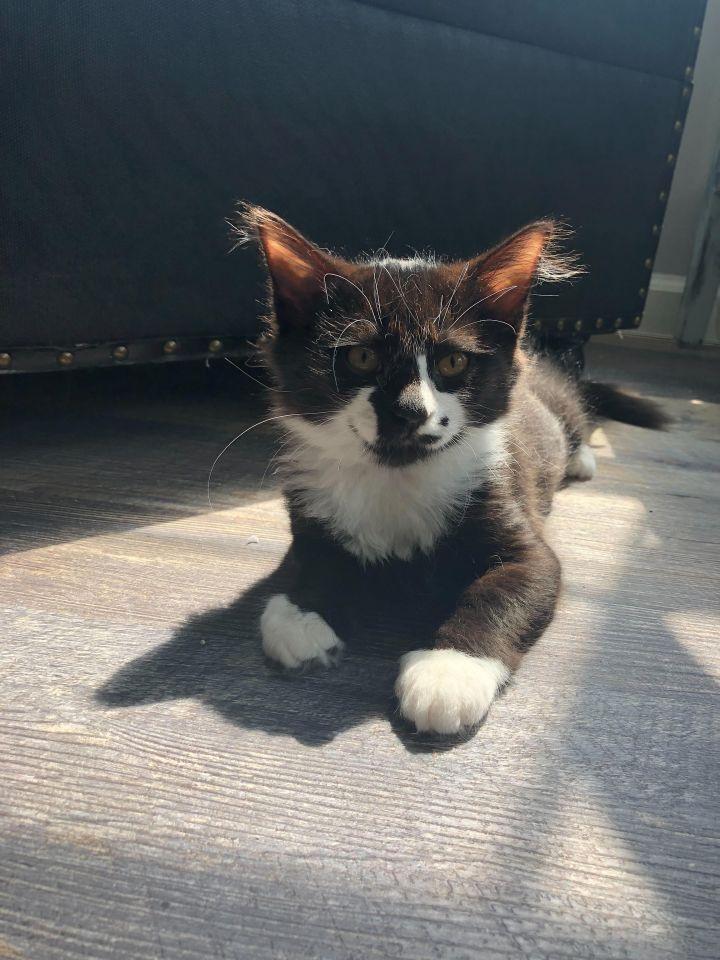Juno (Groucho kittens) 5