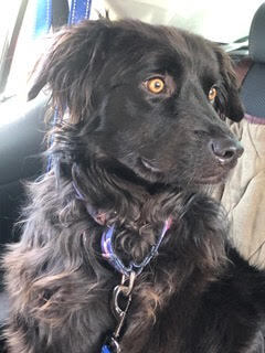 Kiki is a 2 year old 40-45 lb female Aussie mix Kiki is quick to get comfortable with everyone s