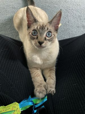Corny is a young playful high-energy kitty with lots of extra toes and look at those dreamy blue e