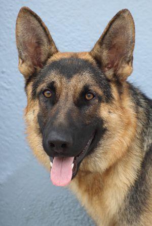 Chance von Chamerau German Shepherd Dog Dog