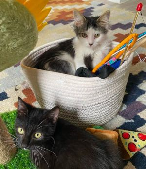 Meet bonded brothersister duo Hopper M DLH and Cricket F DSH Tuxedo who are looking for their