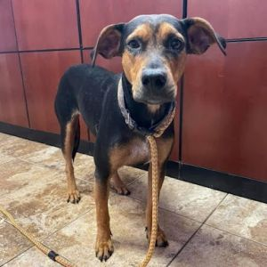 BT is a beautiful 2-year young Rottie mix She is one of the last dogs to make it out of