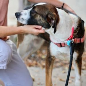 Cleo is a beautiful girl that has come up from Alabama with a broken leg ready to be euthanized Sh