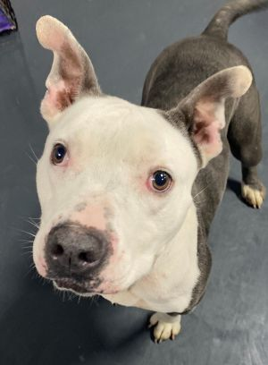 Diamond, adorable and affectionate-urgently needs foster or adopter!