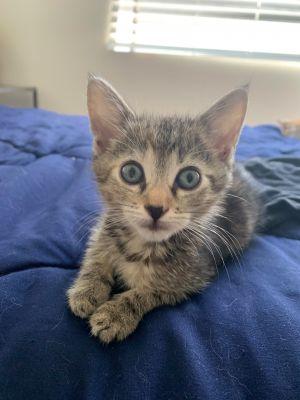 Miki Domestic Short Hair Cat