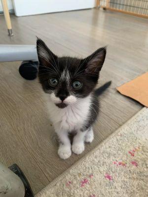 Momo Domestic Short Hair Cat