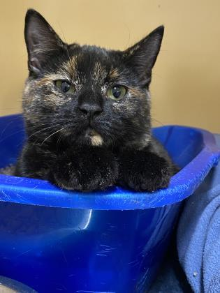 Po, an adoptable Domestic Short Hair in Clarks Summit, PA_image-1