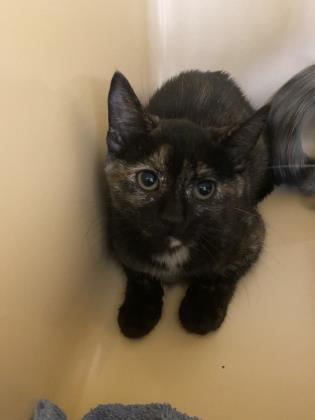 Po, an adoptable Domestic Short Hair in Clarks Summit, PA_image-2