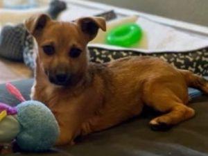 Shep Jack Russell Terrier Dog