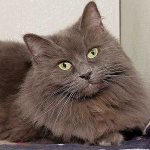 Senior Beauty Meet Audrey a gorgeous 11 year old feline She can be shy around unfamiliar people