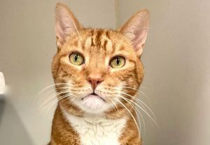 Primary Color Orange Tabby Secondary Color White Weight 104lbs Age 4yrs 0mths 3wks Animal has b