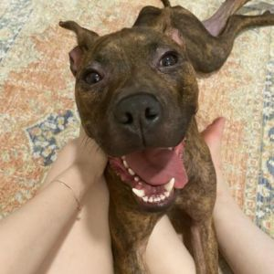 Shira is a eight-month-old female currently weighing 35 lbs Her foster says Shira is a wonderful