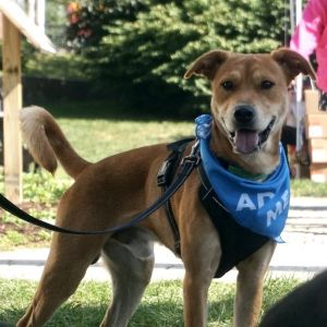 Meet Scrappy an adorable two-year-old 48 lb shepherdchow chow mix This sweet boy has not had a