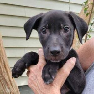 Meet Jiro a 10 week old 45 pound as of 828 adorable labpit mix This del