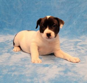 Meet Blazer a 7 week old 6 pound as of 828 adorable pit mix This delightf