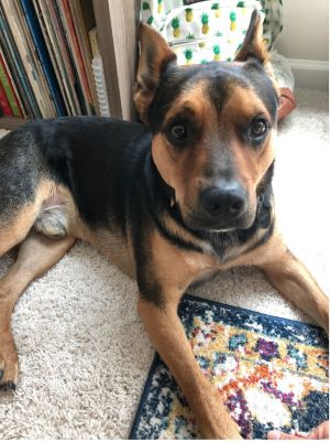 How handsome is Freddie This guy is a 2-year-old staffycattle dog mix that weighs around 45 lbs
