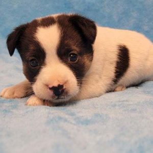 Meet Penn a 6 week old 35 pound as of 828 adorable terrier mix This deli