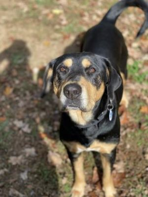 Sunny is a large black and tan hound mix with beautiful eyes She is very smart and knows her basic