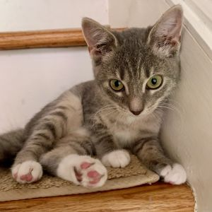 Meet Aurora one of the six cats from the Disney Prince  Princesses litter This gorgeous four-mo