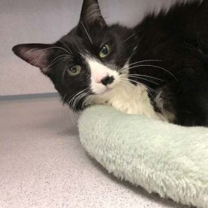 Very sweet and beautiful Tuxedo spayed female One of the favorites because she isnt demanding tal