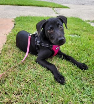 Sweet puppy Sylvie is the most adorable puppy ever She was rescued by a stranger who dropped her of
