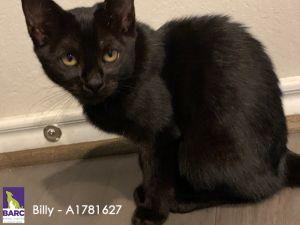 BILLY Domestic Short Hair Cat