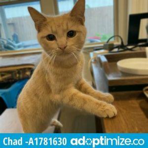 CHAD Domestic Short Hair Cat