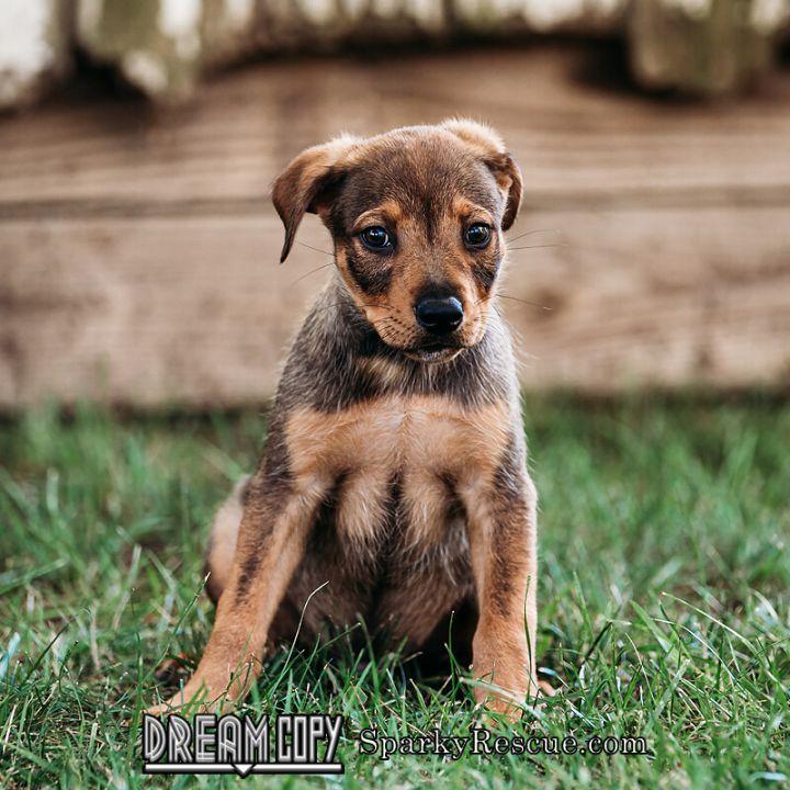 Boxer mix puppies!, 3