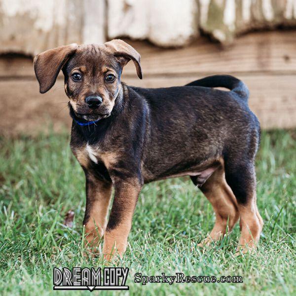 Boxer mix puppies!,