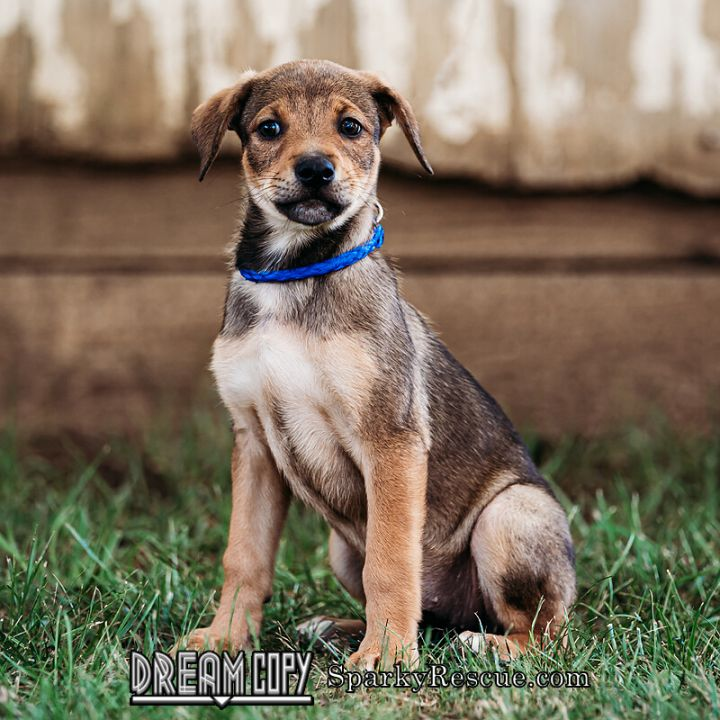 Lucy Boxer mix puppy 1