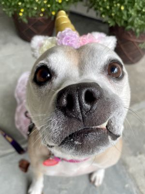 Tripod Belle Beagle Dog