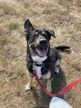 Bo, an adoptable German Shepherd Dog & Rottweiler Mix in Bellingham, WA_image-2