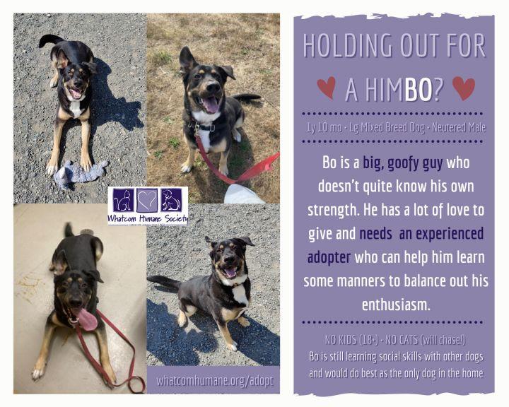 Bo, an adoptable German Shepherd Dog & Rottweiler Mix in Bellingham, WA_image-3