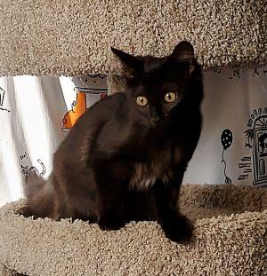 Stormy Domestic Medium Hair Cat