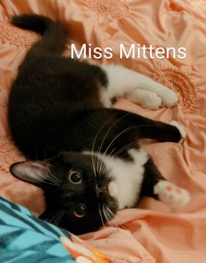 Miss Mittens Domestic Short Hair Cat