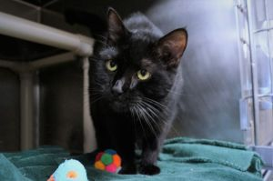Sabrina is a black cat that you want to cross paths with Shes a super friendly